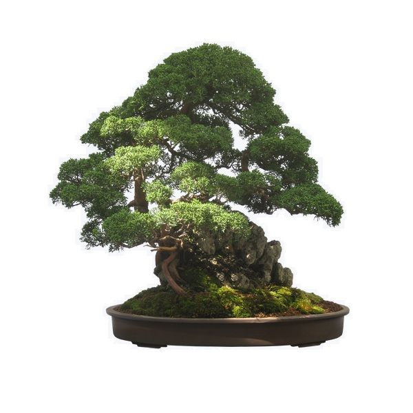 Bonsai-B