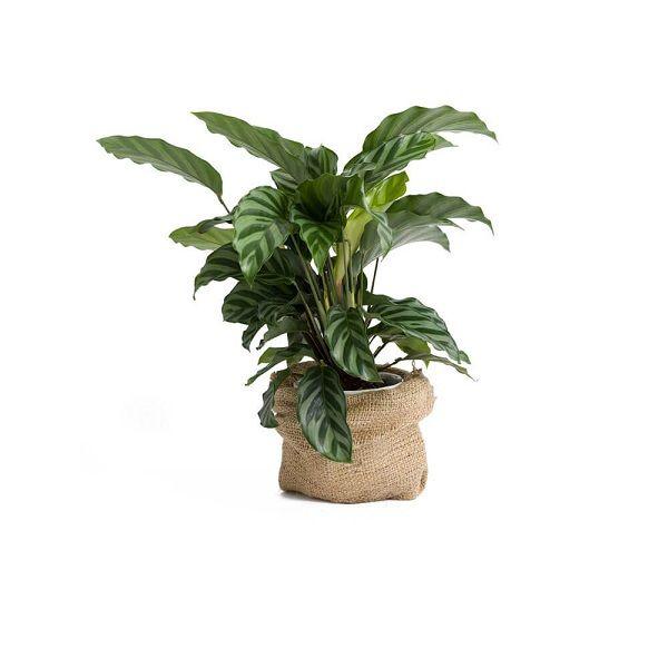 Plant-13
